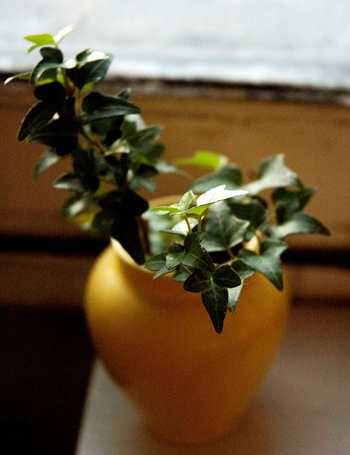 English Ivy Plant Benefits Air Quality Testing Experts